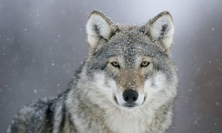 Wolfgamer101